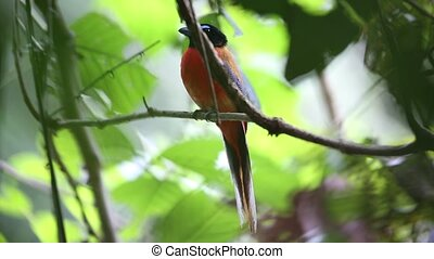 Scarlet-rumped trogon (Harpactes duvaucelii) in Sabah,...