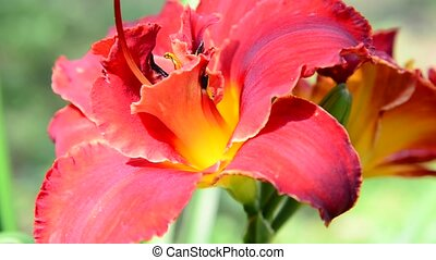 scarlet terry daylily flower in flowerbed - scarlet terry...