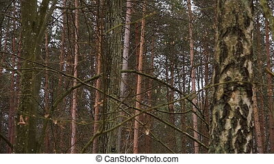 Scary looking trees in the woods - A scenic shot of tall...
