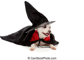 Scary wizard or wicked witch dog - A maltese terrier dressed...