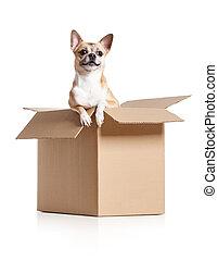 scatola, chihuahua, cane