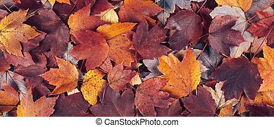 fall maple leaves banner background