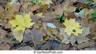 Scattered maple leaves on ground