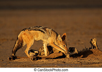 Scavenging black-backed jackal - Black-backed jackals (Canis...
