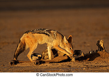 Scavenging black-backed Jackal