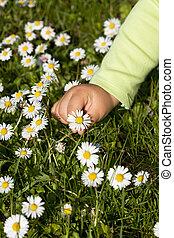 scegliere, wildflowers, capretto, mano