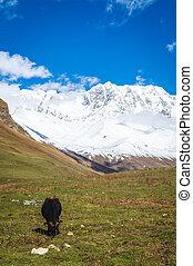 scenario, picchi montagna, mucca, nevoso, valle fiume, paesaggio, prato