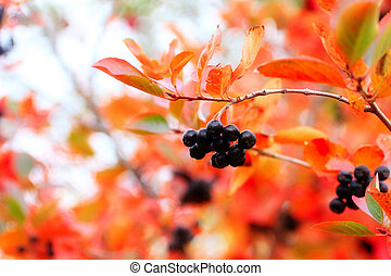 scene fruits ripe rowanberry on branch shrubbery