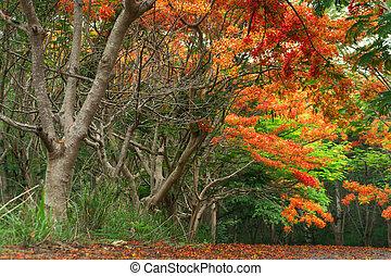 Scene of Flame Tree, Royal Poinciana