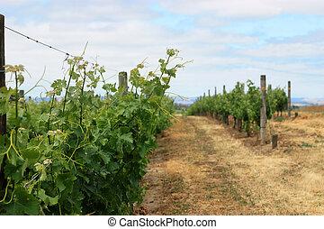 Scene of grape vineyard in Napa Valley