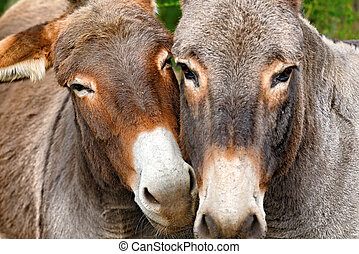 donkey - scene of tenderness between two donkey