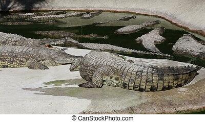 Scene with Big Crocodile  (zooming)