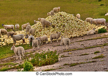 scene with sheep and cabbage
