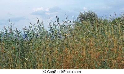 Scene with waving reeds - Slow motion shot of reeds swinging...