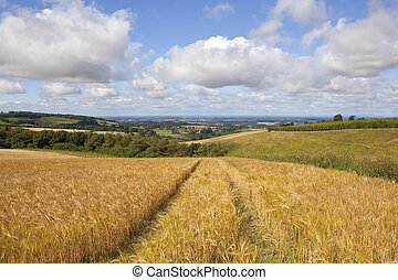 scenic barley field