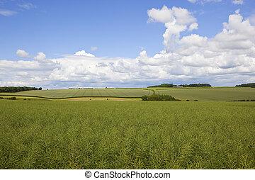scenic canola crop