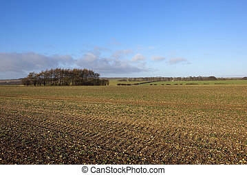 a winter landscape with a copse of larch trees viewed accross a field of young canola seedlings