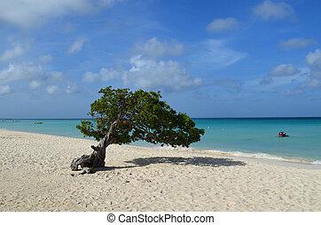 Scenic Divi Divi Tree on Eagle Beach in Aruba