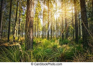 Scenic forest of young green pine trees in green grass field with the sun casting its warm rays through the foliage - sunrise or sunset photo