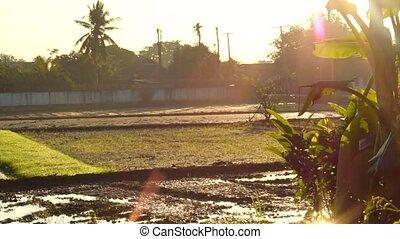 Scenic landscape of Rice field