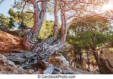 Scenic picture old pines forest. Location Crimea, Crimean peninsula, Ukraine, Europe.