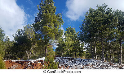Scenic pine tree forest on mountains