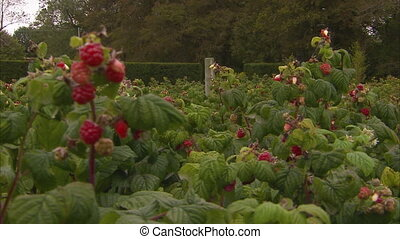 Scenic raspberry farm shot - A steady scenic medium shot of...