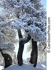 Scenic snow covered trees