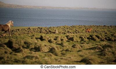 Scenic view of beautiful nature. The herd of wild icelandic...