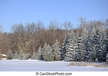 Scenic view of Frost Covered Spruce Trees