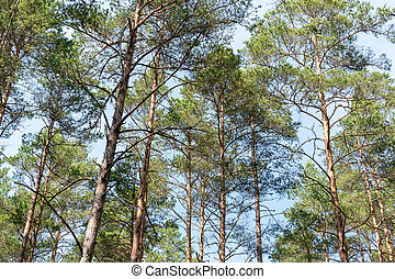 Scenic view of very big and tall trees