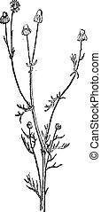 Scentless Chamomile or Anthemis arvensis, vintage engraving...