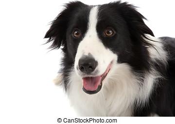 schäferhund, glücklich