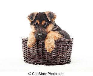 schäferhund, junger hund, in, a, brauner, korb