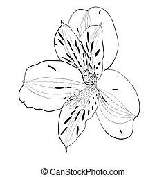 schöne , alstroemeria, blume, isolated., schwarz, weißes, monochrom