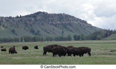 schöne , büffel, in, yellowstone