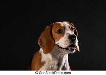 schöne , beagle, hund, auf, a, schwarzer hintergrund