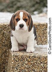 schöne,  beagle, junger Hund,  Winter