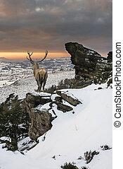 schöne, berg,  Winter, festlicher, Hirsch, Schnee, rehbock, Bereich, rotes, Jahreszeiten, bedeckt, landschaftsbild