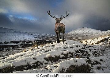 schöne , berg, winter, festlicher, hirsch, schnee, rehbock, bereich, rotes , jahreszeiten, bedeckt, landschaftsbild