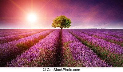 schöne , bild, von, blaßlila feld, sommer, sonnenuntergang, landschaftsbild, mit, alleinstehender baum, auf, horizont, mit, sunburst