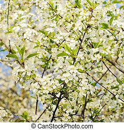 schöne , blühen, kirschbaum