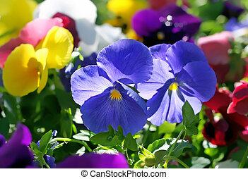 schöne , blumen, violett