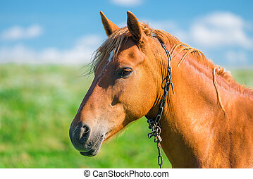 schöne , brauner, kopf, feld, pferd, nahaufnahme
