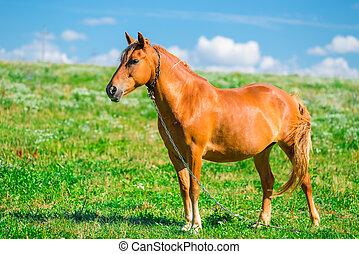 schöne , braunes pferd, kette, feld