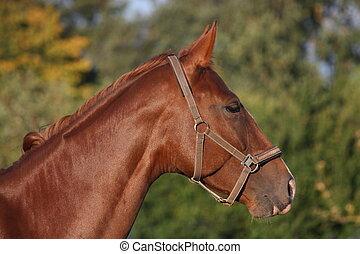 schöne , braunes pferd, porträt, sommer