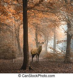 schöne, bunte, Bild, Hirsch, Herbst, rehbock, wald, neblig, landschaftsbild, rotes
