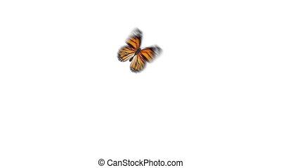 schöne , close-up., fliegendes, seamless, animation, 3840x2160, orange, monarch, weißes, 3d, papillon, uhd, sitzen, schirm, channel., alpha, danaus, gefärbt, hintergruende, grün, 4k, plexippus