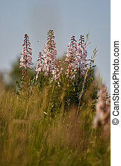 schöne , (dictamnus, wildflowers, albus), frühling