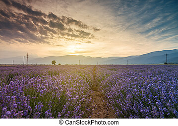 schöne , feld, bild, fields., lavendel